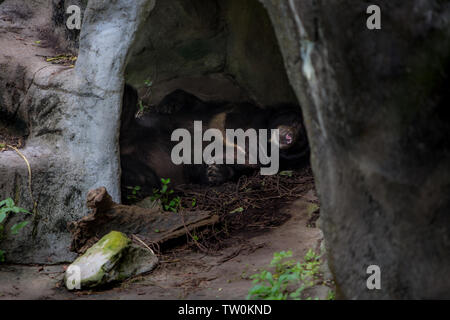An adult Formosa Black Bear sleeping in the cave at a day hot summer. Ursus Thibetanus Formosanus - Stock Photo