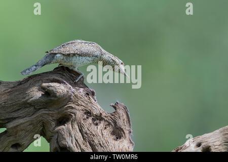 Wonderful portrait of Eurasian wryneck (Jynx torquilla) - Stock Photo