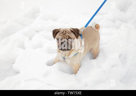 Pug dog walking on snow - Stock Photo
