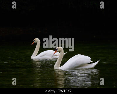 Two Mute swans swimming together on a lake - Stock Photo