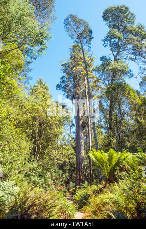 A large Eucalyptus obliqua tree, commonly known as the brown top stringybark or Tasmanian oak, photographed in the Liffey Falls State Reserve near Del - Stock Photo