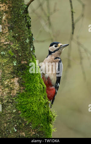 A great spotted woodpecker peers out from behind a moss covered tree in the black downhill of south Somerset, uk - Stock Photo