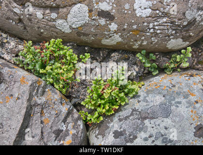 Wall Rue growing on a stone wall - Stock Photo