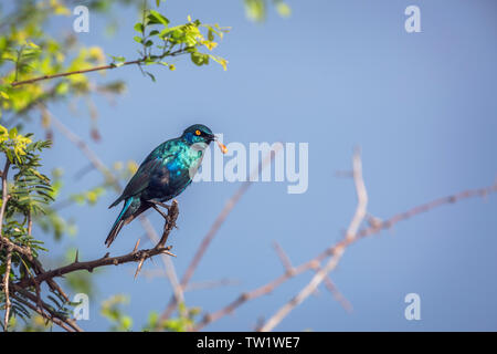 Greater Blue-eared Glossy Starling regurgitating in Kruger National park, South Africa ; Specie Lamprotornis chalybaeus family of Sturnidae - Stock Photo