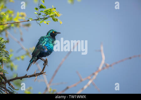 Greater Blue-eared Glossy Starling isolated in blue background in Kruger National park, South Africa ; Specie Lamprotornis chalybaeus family of Sturni - Stock Photo