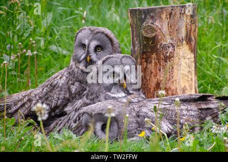 Bartkauze, Bartkäuze Schneeeule in freier Natur - Stock Photo