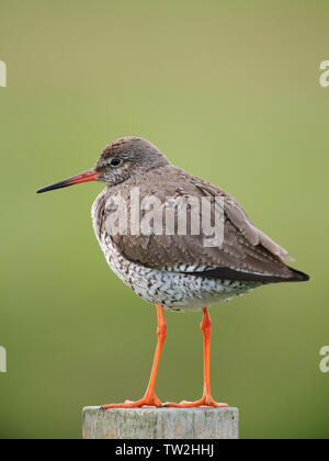 Redshank (Tringa totanus) on wooden post, North Uist, Outer Hebrides, Scotland - Stock Photo