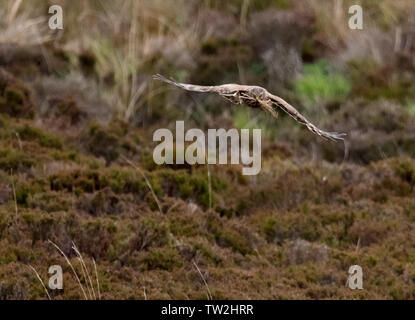 Female Hen Harrier (Circus cyaneus) returning to nest with nesting material, North Uist, Outer Hebrides, Scotland - Stock Photo