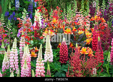 lupins in a cottage garden - Stock Photo