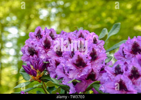 Rhododendron in verschiedenen Farben und unterschiedlichen Sorten - Stock Photo
