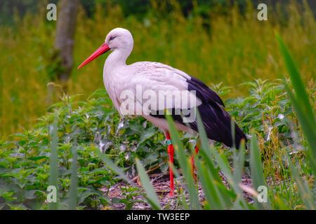 Storch auf der Wiese und im Nest - Stock Photo