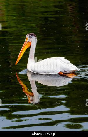American White Pelican swimming in Sands Lake State Wildlife Area; Salida; Colorado; USA