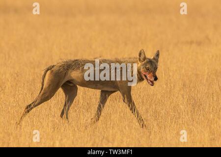 Indian wolf (Canis lupus pallipes) at Velavadar national park, Gujarat, India - Stock Photo