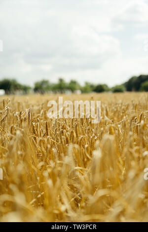 close up of a wheat field, eastern Europe, Poland. - Stock Photo