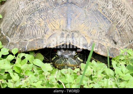 Closeup of a turtle's head peeking out of his shell - Stock Photo