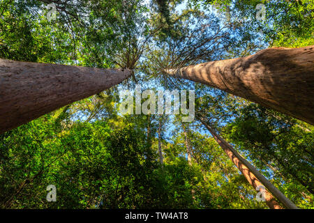 Japanese wild mountain forest of the Kumano Kodo trail,view from below. - Stock Photo