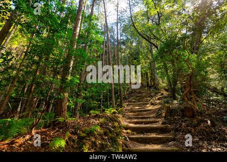 Wild cryptomeria forest of the Kumano Kodo pilgrimage trail, Japan - Stock Photo