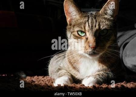 Tabby cat lying in sphinx pose and looking with his blue-green eyes directly at camera, on dark background, in sidelight - Stock Photo