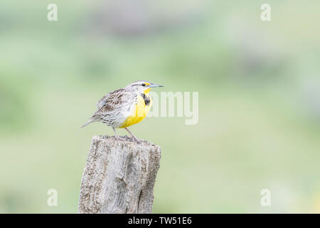 Western Meadowlark (Sturnella neglecta) Perched on a Wooden Post in Northern Colorado - Stock Photo