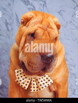 Portrait  of a shar-pai  wearing a bowtie - Stock Photo