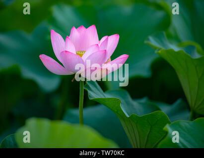 Heh, blooming in the lotus leaves. - Stock Photo