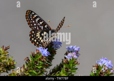 Variable Checkerspot butterfly (Euphydryas chalcedona) foraging on wild flowers. California, USA. - Stock Photo