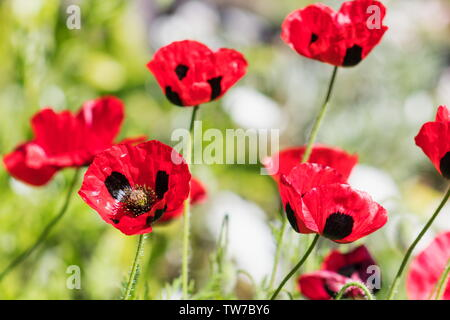 Ladybird Poppy or the Caucasian scarlet poppy (Papaver commutatum) is a species of flowering plant native to northern Turkey, - Stock Photo