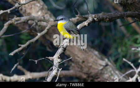Eastern Yellow Robin, Eopsaltria australis perched in a tree at Apollo Bay, Victoria, Australia. - Stock Photo