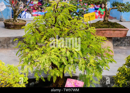 Fern Tree Bonsai for display in a flower pot. A tropical genus of fig evergreen deciduous species, shrubs vines with medium sized tree and leaves are - Stock Photo