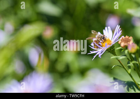Close-up of a bee on a purple flower collects pollen and nectar on the right, left place under the advertising inscription. Horizontal macro photograp - Stock Photo
