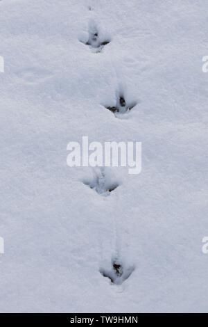 Rock Ptarmigan (Lagopus muta). Footprints in snow. Cairngorms, Scotland