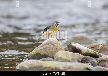 Grey Wagtail (Motacilla cinerea). Male in song, perched on a rock in a stream. Scotland, Great Britain - Stock Photo