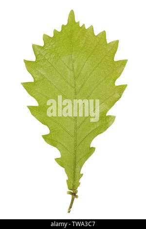 Green leaf of monolian oak or Quercus mongolica isolated on white background. - Stock Photo