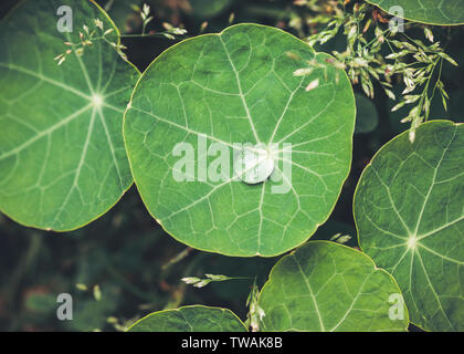 Water drop on a nasturtium leaf - Stock Photo