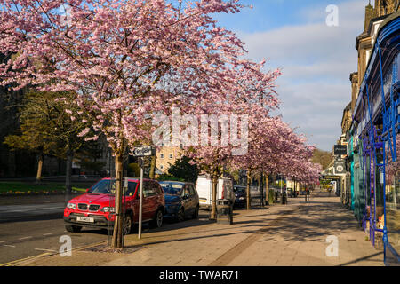 Townscape - beautiful pink blossoming cherry trees & high street shops in scenic springtime town centre - The Grove, Ilkley, Yorkshire, England, UK. - Stock Photo
