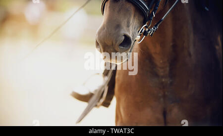 The nose of a Bay horse, dressed for dressage, close-up. On a horse on a Sunny summer day sits a rider whose leg is seen in the stirrup. - Stock Photo