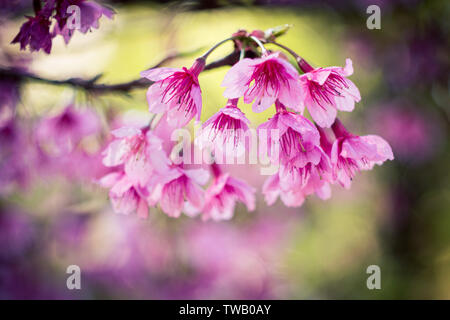 Beautiful pink Sakura flower blooming on blue sky background shallow depth of field - Stock Photo