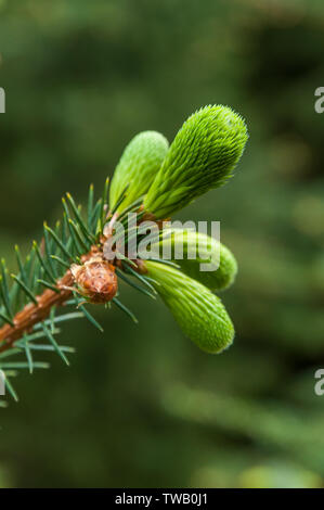 Close up of fresh green sprouts growing on a branch of a pine tree during spring in a forest. - Stock Photo