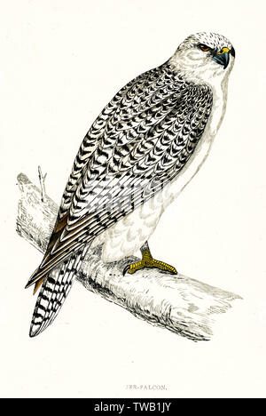 GYRFALCON (sometimes Gerfalcon) (Falco gyrfalco)      Date: 1851 - Stock Photo