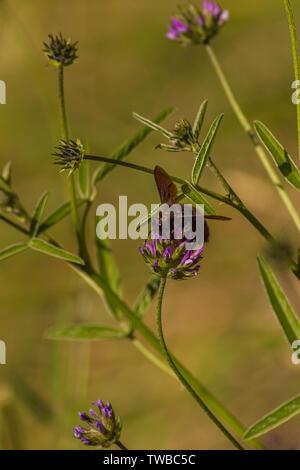 Xylocopa violacea, Violet Carpenter Bee on the Bituminaria bituminosa Flower