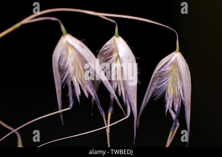Wild oat (Avena fatua)  dry close-up on black background - Stock Photo