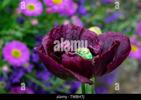 Large ornamental poppy in full bloom showing its developing seed pod - Stock Photo