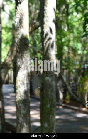 A giant golden orb weaver on a web between two trees. - Stock Photo