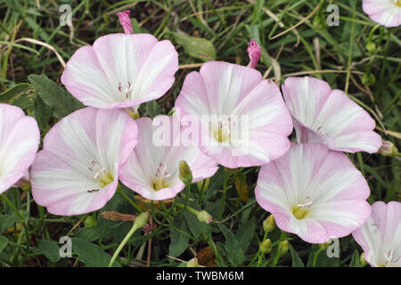 flowers and leaves of field bindweed in pale pink Stock Photo