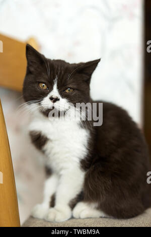 Beautiful young kitten British breed in black and white color at home. A pet.  - Stock Photo