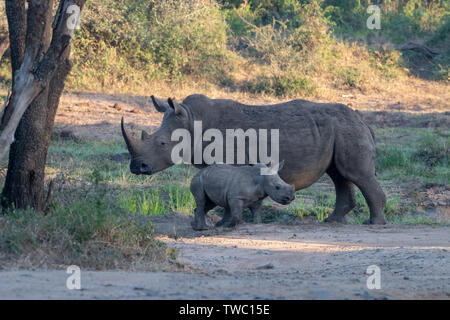 A White Rhino mother and baby, South Africa. - Stock Photo