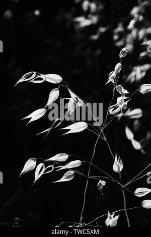 Black and White image of  grass seed heads in the white village of Comares, Malaga, Axarquia, Andalucia, Spain, Europe - Stock Photo