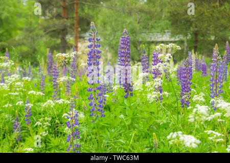 Blue lupine blossom flowers on the meadow. - Stock Photo
