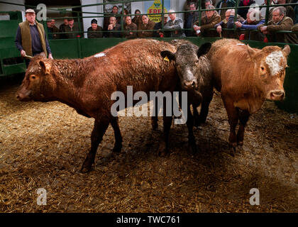 Cornish cattle and livestock market, Kivells Hallworthy Stockyard. - Stock Photo