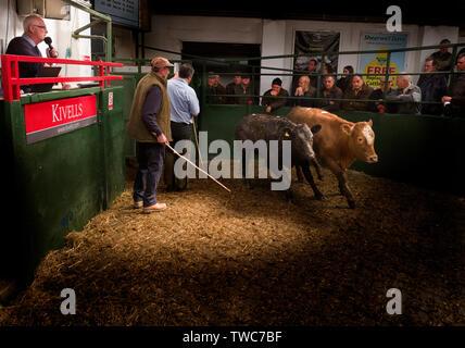 Cornish cattle and livestock market, Kivells Hallworthy Stockyard. - Stock Photo